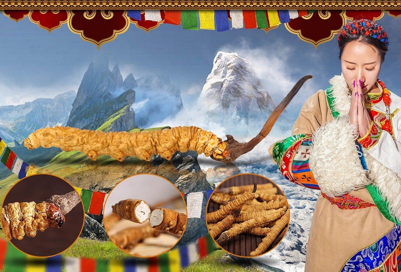Đông trùng hạ thảo nguyên con ở Tây Tạng