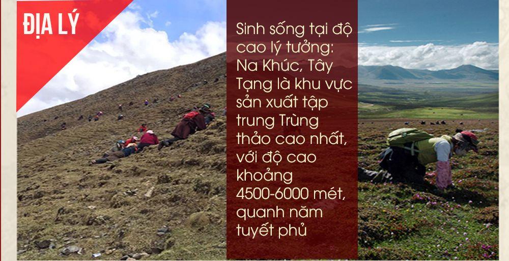 Đông trùng hạ thảo Tây Tạng có giá cắt cổ