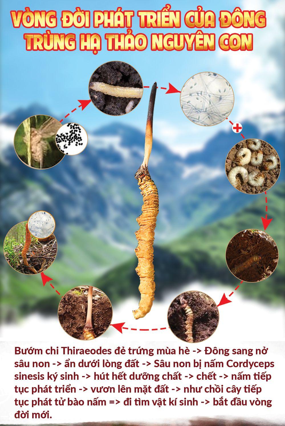 Tại sao đông trùng hạ thảo Tây Tạng lại tốt nhất