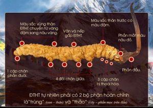 Các đặc điểm của đông trùng hạ thảo tự nhiên