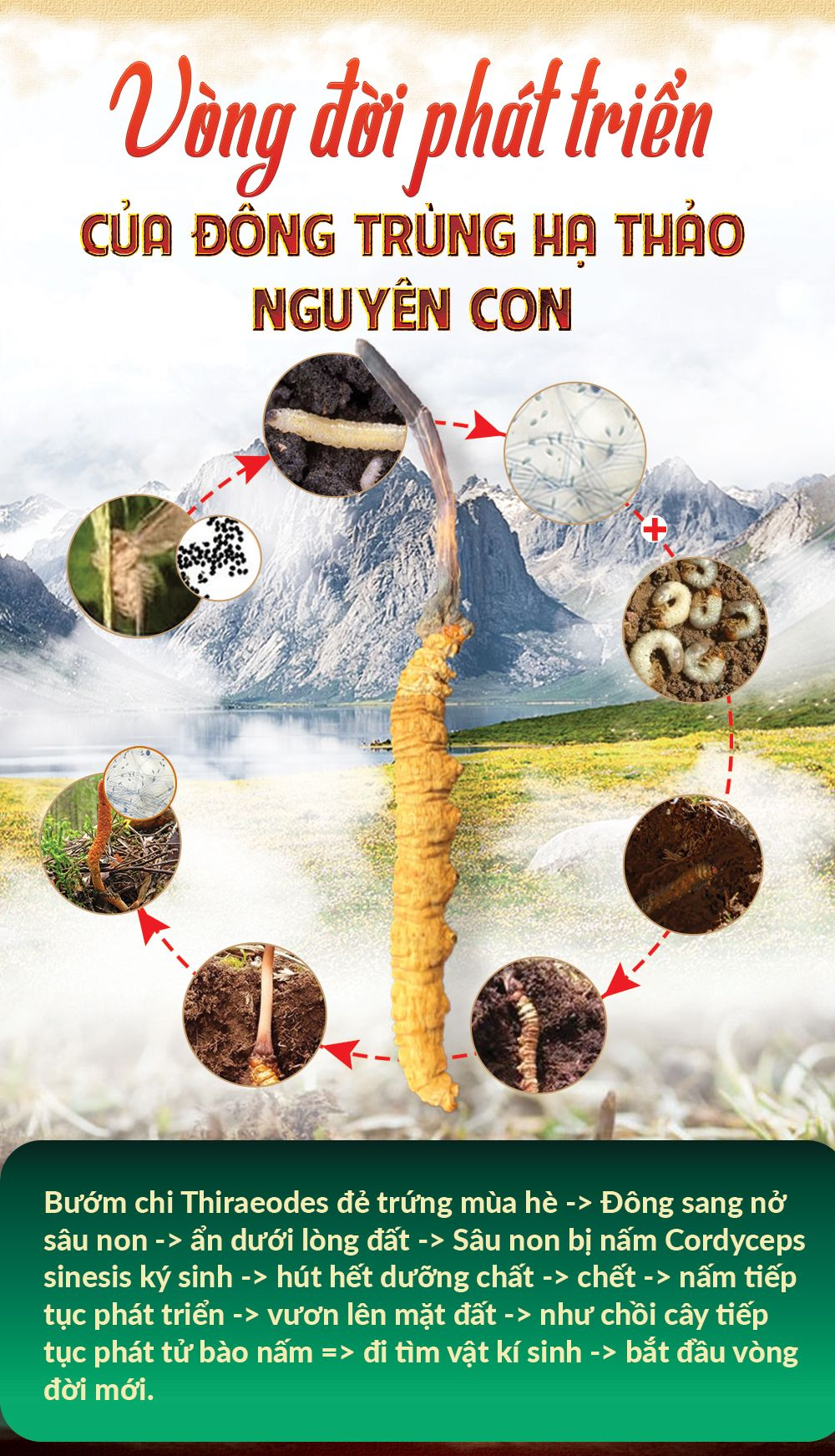 Môi trường sinh sống của con đông trùng hạ thảo tự nhiên
