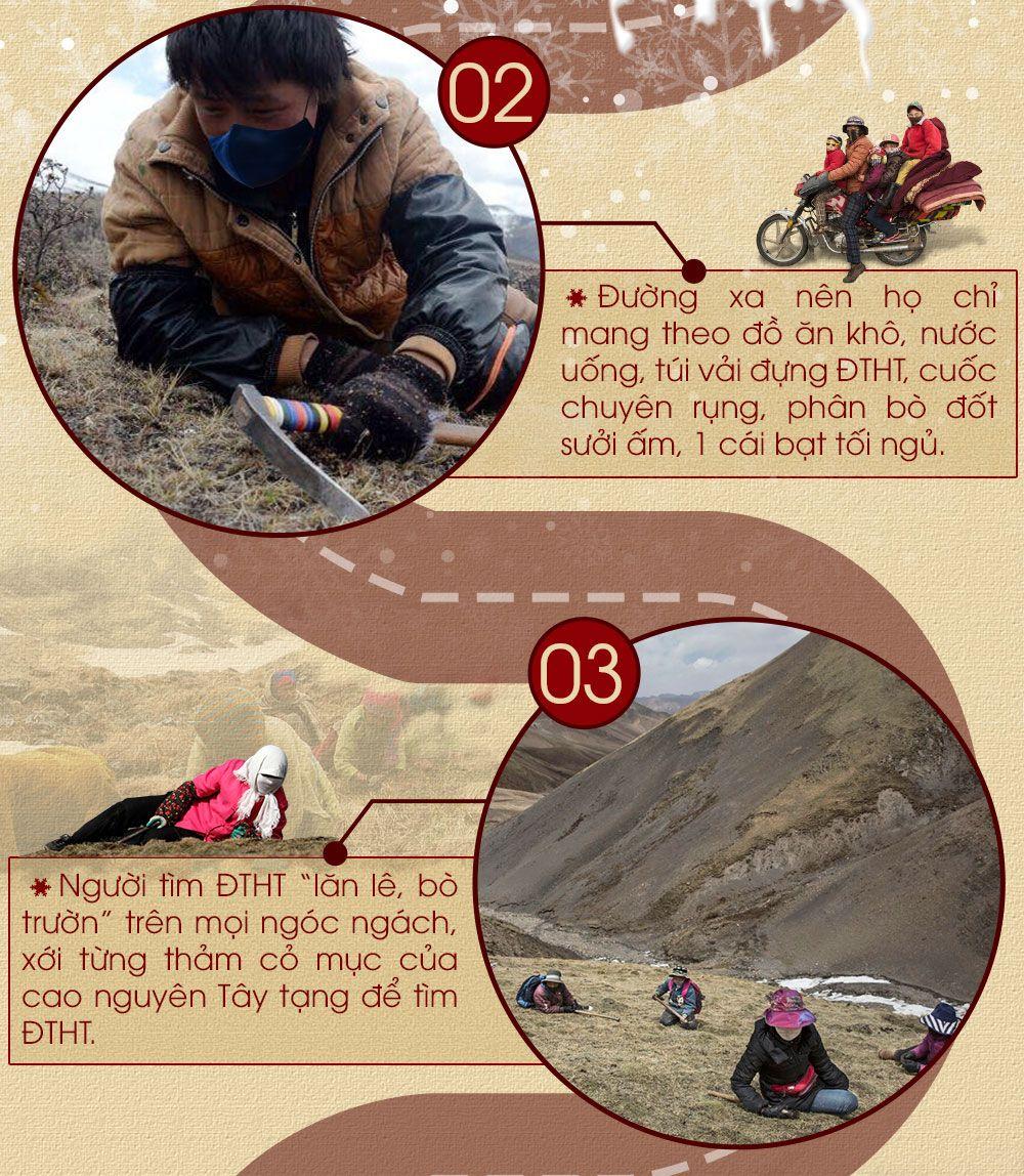 Khai thác đông trùng hạ thảo nguyên con Tây Tạng