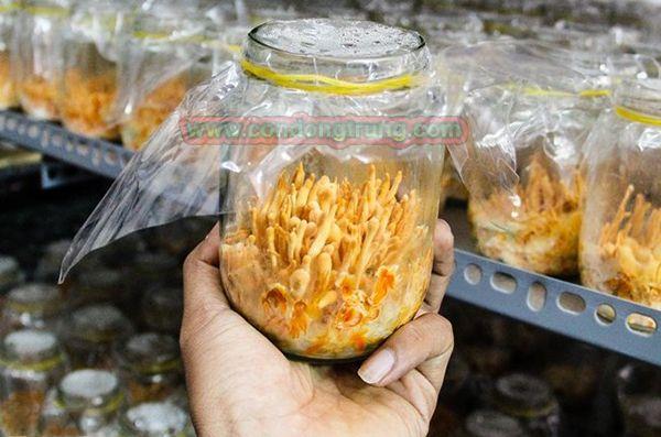 Nấm đông trùng hạ thảo nhân tạo được nuôi trồng tại Việt Nam