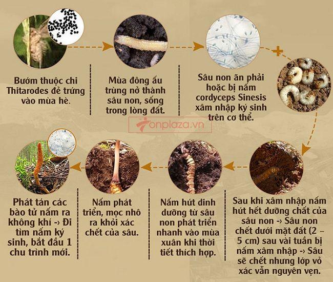 Quá trình sinh trưởng của đông trùng hạ thảo thiên nhiên