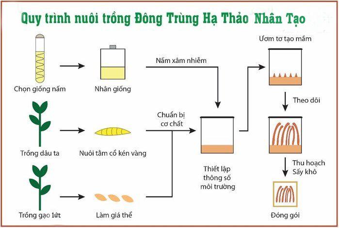 Quy trình nuôi cấy đông trùng hạ thảo nhân tạo Việt Nam