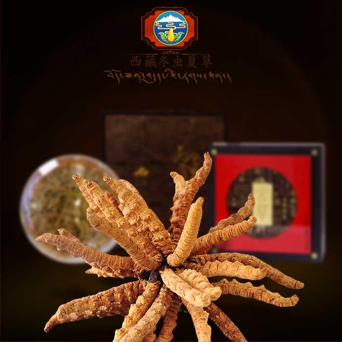 Đông trùng hạ thảo nguyên con của Tây Tạng hộp 100gr