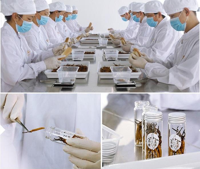 Giai đoạn làm sạch và đóng gói đông trùng hạ thảo Tây Tạng nguyên con