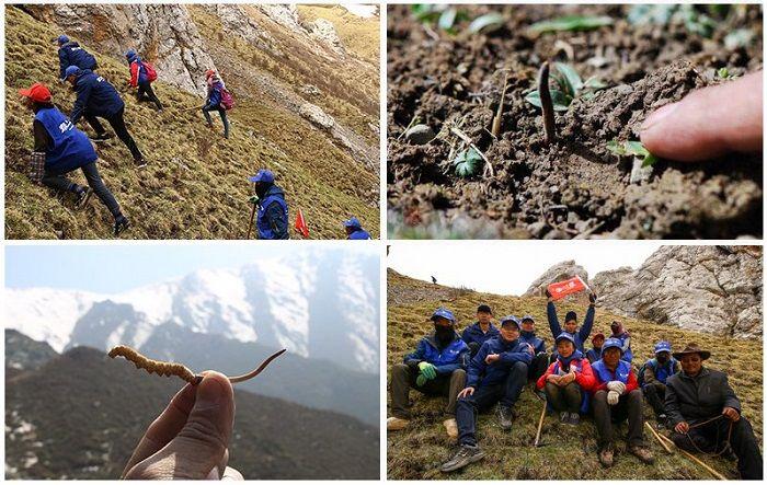 Quá trình tìm kiếm đông trùng hạ thảo trên cao nguyên Tây Tạng