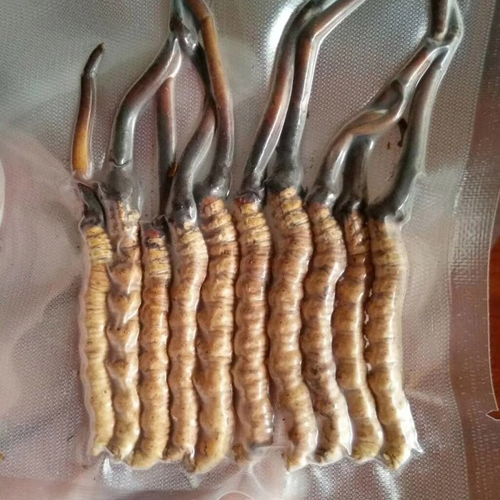 Đông trùng hạ thảo tươi Tây Tạng nguyên con loại 1gram