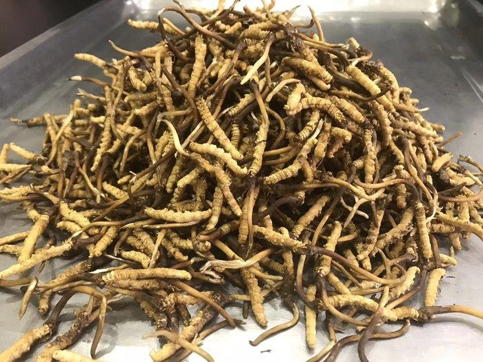 Đông trùng hạ thảo tươi Tây Tạng nguyên con loại 1gram 1
