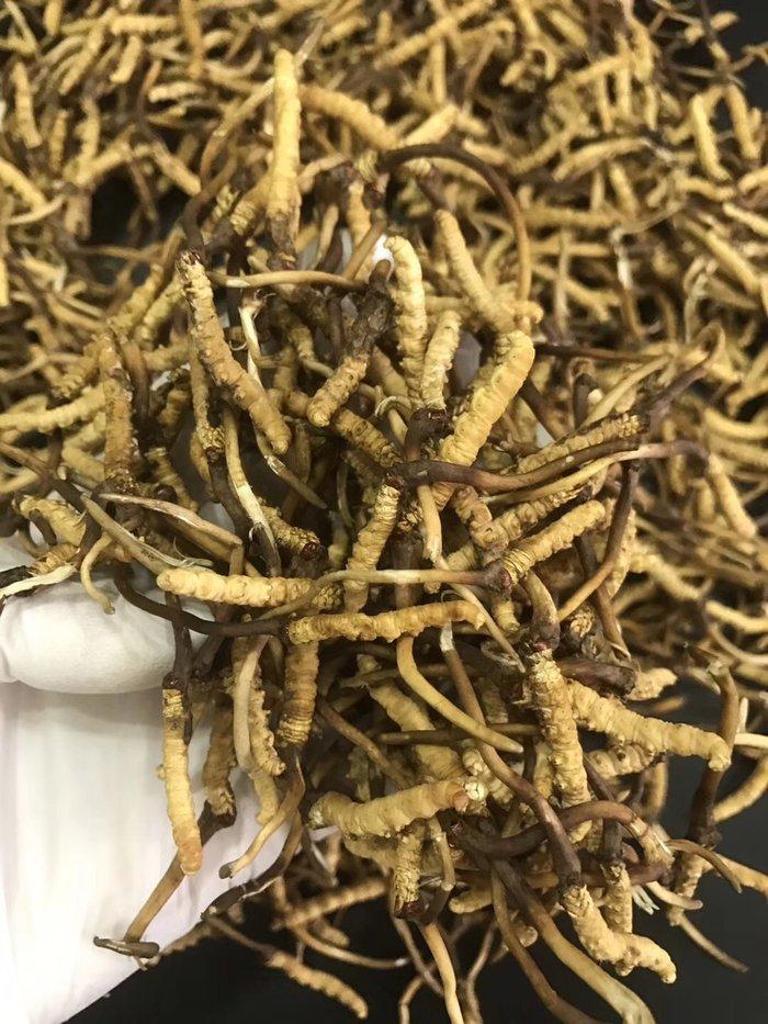 Đông trùng hạ thảo tươi Tây Tạng nguyên con loại 1gram 7