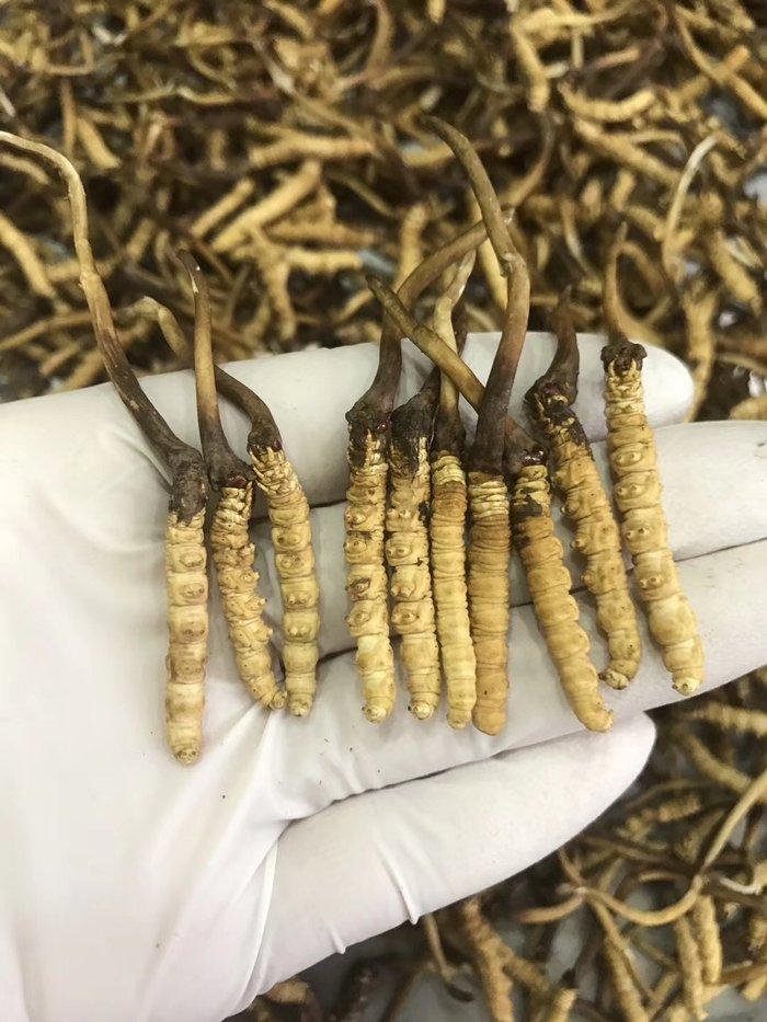 Đông trùng hạ thảo tươi Tây Tạng nguyên con loại 1gram 8