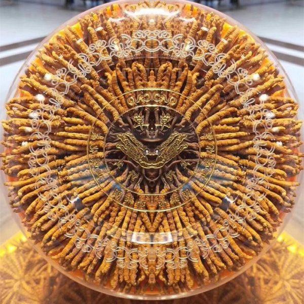 Đông trùng hạ thảo Tây Tạng nguyên con cao cấp 100gr loại 500 – 600 con